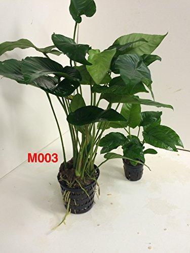 Anubias barteri striped Mother Pot Plant M003 Live Aquatic Plant