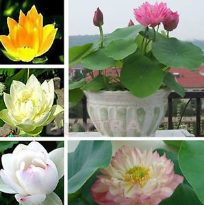 12 Aquatic Water Lily Seeds mixed Colors Lotus Plant