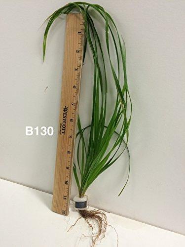 Cyperus Helferi - Bundle Plant B130 - Live Aquatic Plant Online - Buy 2 Gets 1 Free
