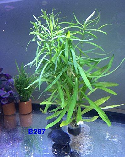 Pogostemon octopus Bundle Live Aquatic Fresh Water Plant B287 ~ BUY 2 GET 1 FREE