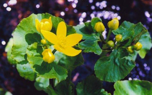 1 Golden Yellow Marsh Marigold PondBogWater garden live Plants Spring~Hardy