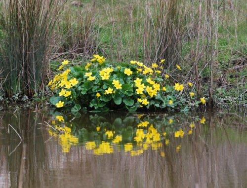 10 Golden Yellow Marsh Marigold Pondbogwater Garden Live Plants Spring~hardy