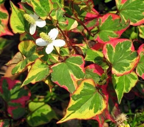 25 Variegated Chameleon Plants~Marginal shore~Koi PondBogWater garden ~HARDY