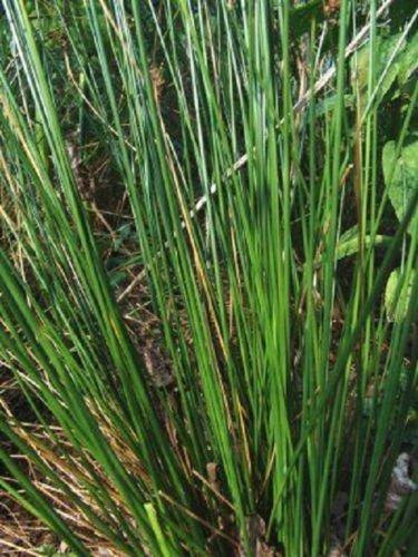 Live Soft Rush Bog Plant koi Pond -water Garden Plantsoil Plant