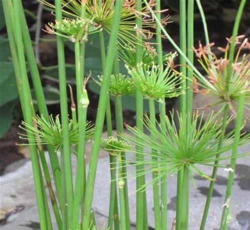 PAPYRUS DWARF Cyperus haspan Pond Bog Plant
