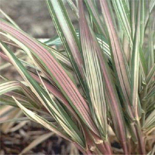 Phalaris Variegated Ribbon Grass Strawberries and CreamSoil or Pond Bog Plant