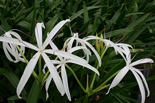 Pond Plant Bog Lily