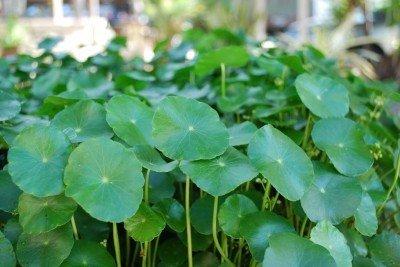 Water Pennywort Bog Or Shoreline Water Garden Pond Plant - Nursery Grown In Aquatics Plants Nursery