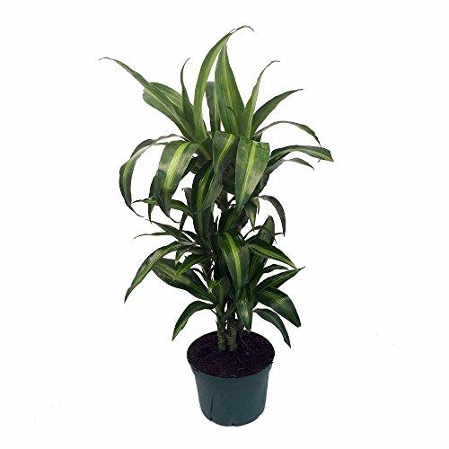 Hawaiian Sunshine Cane Dragon Tree - Dracaena - 6&quot Pot -easy To Grow House Plant