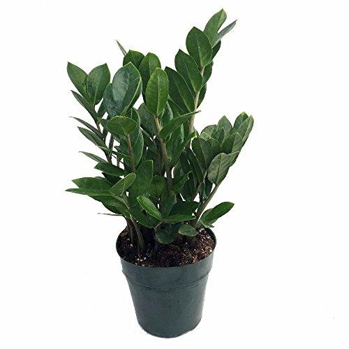 Rare Zz Plant - Zamioculcas Zamiifolia - Hardy House Plant - 6&quot Pot