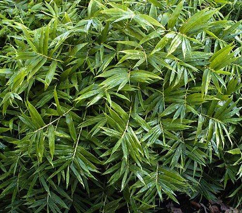 Dwarf Fernleaf Bamboo - Pleiblastis Distichus - Grow Indoorsoutbonsai - 4&quot Pot