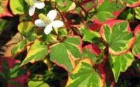 25-Variegated-Chameleon-Plantsmarginal-shore-koi-Pond-bog-water-Garden-hardy7.jpg