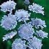Scabiosa-Butterfly-Blue-PERENNIAL-Seeds-50.jpg