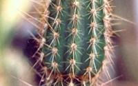 Armatocereus-arboreus-rare-cactus-plant-flowering-succulent-cacti-seed-50-seeds-10.jpg
