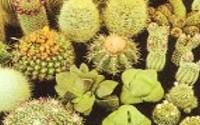 Cactus-cacti-variety-mix-50-seeds-22.jpg