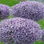 Allium-Purple-Sensation-Bulbs-20-Pack-Purple-Perennial-Allium-Bulbs-Purple-Flowers2.jpg