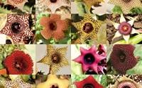 Huernia-Mix-Rare-Asclepiad-Plant-Caralluma-Exotic-Orbea-Cactus-Succulent-5-Seeds12.jpg