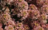1000-Alyssum-Seeds-Easter-Bonnet-Peach-Excellent-edging-plant-intense-flowers-7.jpg