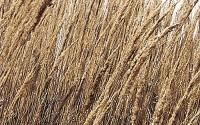 Everwilde-Farms-1-Lb-Indian-Grass-Native-Grass-Seeds-Gold-Vault-27.jpg