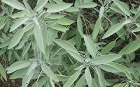 Seeds-Herb-Salvia-Pharmaceutical-Perennials-Organic-Russian-Heirloom24.jpg