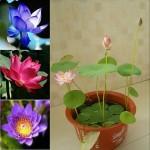 5-Seeds-Dwarf-Lotus-Flower-Mixed-Colors-Aquatic-Plant-27.jpg