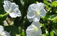Perennial-White-Mirabilis-Jalapa-four-O-clock-Self-seed-Flower-100-Seeds7.jpg