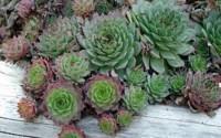 Homegrown-Cactus-Seeds-100-Hen-And-Chicks-28.jpg