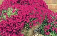 25-Aubrieta-Rock-Cress-Bright-Red-Perennial-Flower-Seeds-Ground-Cover-27.jpg