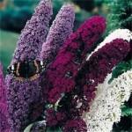 NEW-25-BUDDLEIA-BUTTERFLY-BUSH-FLOWER-SEEDS-MIX-FRAGRANT-PERENNIAL-25.jpg