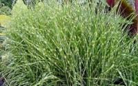 Miscanthus-sinensis-Zebrinus-ZEBRA-MAIDEN-GRASS-Seeds-12.jpg