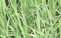 Everwilde-Farms-1000-Rice-Cut-Grass-Native-Grass-Seeds-Gold-Vault-Jumbo-Seed-Packet-31.jpg
