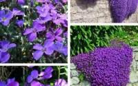 100pcs-Purple-Flower-Aubrieta-Hybrida-Seeds-Garden-Perennial-Ground-Cover-Plant5.jpg