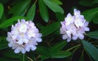 25-Purple-Queen-Rhododendrun-Flowers-Shrubs-Trees-Shade-Loving-Perennial2.jpg