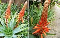 25-Seeds-TREE-ALOE-Seeds-Aloe-arborescens-Flowering-Succulent-PERENNIAL-MEDICINE-PLANT-6.jpg