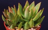 Sedum-nussbaumerianum-rare-succulent-air-plant-cactus-garden-exotic-aloe-4-pot-19.jpg