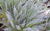 Spider-Aloe-A-aristata-succulent-cactus-houseplant-3-5-Pot-11.jpg