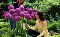 30pcs-Purple-Giant-Allium-Giganteum-Seeds-Globemaster-Garden-Plant-Beautiful-Flower-Seeds-38.jpg