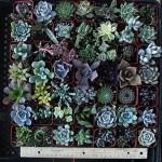 30-Assorted-2-quot-Succulent-Plants10.jpg