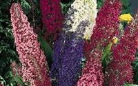 Butterfly-Bush-Mix-Summer-Lilac-Buddleia-davidii-7-10ft-Tall-Perennial-Attracts-Butterflies-25-Seeds-69.jpg